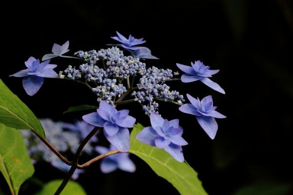 惣河内神社 山紫陽花・七段花 140614 01