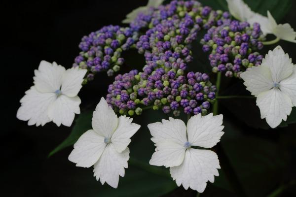 惣河内神社 山紫陽花・美方八重 140614 01