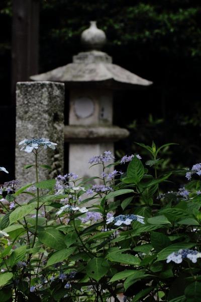 惣河内神社 山紫陽花・黒姫 140614 07