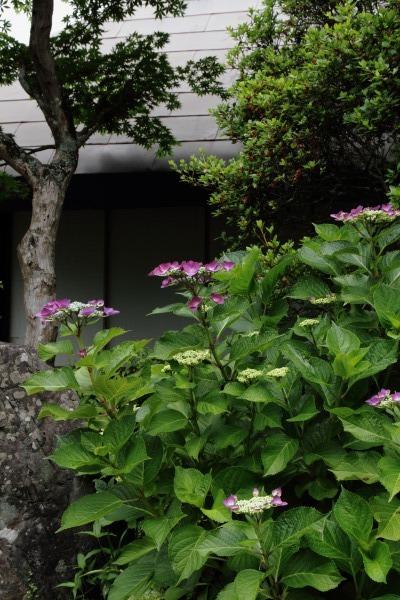 惣河内神社 山紫陽花 140614 06