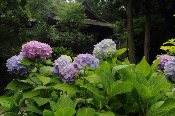 惣河内神社 紫陽花 140614 01
