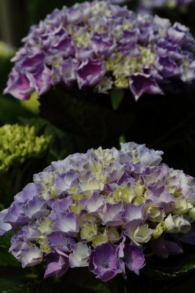 花き研究指導室 紫陽花 140608 02