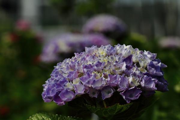 花き研究指導室 紫陽花 140608 03