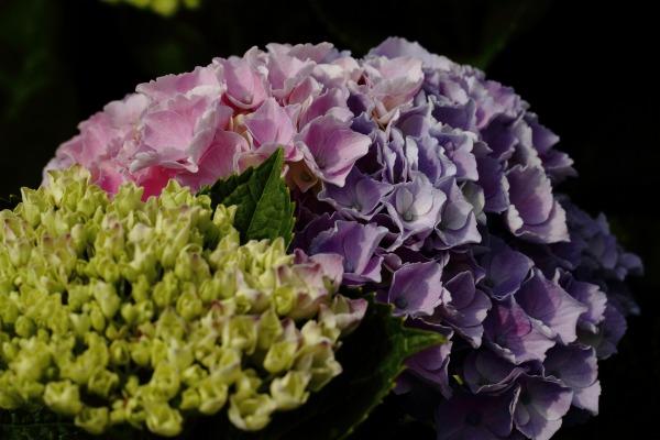 花き研究指導室 紫陽花 140608 04