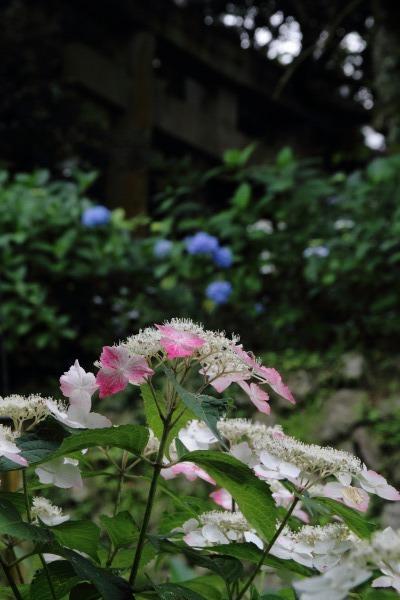 惣河内神社 紫陽花 140621 02