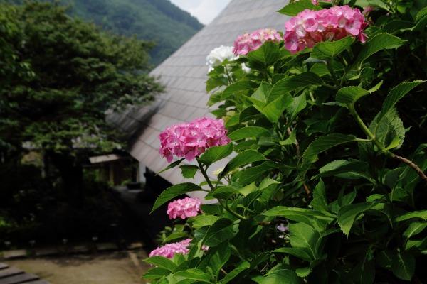 惣河内神社 紫陽花 140621 08