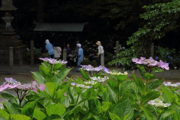 惣河内神社 紫陽花 140621 09
