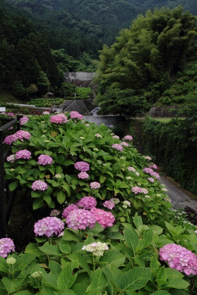 白猪の滝農村公園紫陽花 140621 01