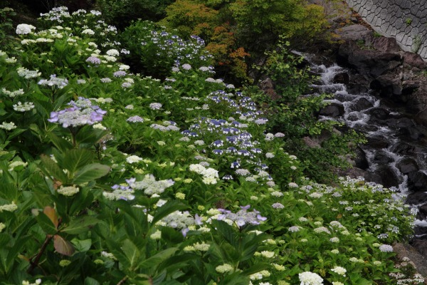 白猪の滝農村公園紫陽花 140621 03