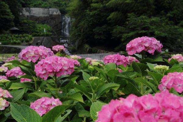 白猪の滝農村公園紫陽花 140621 04