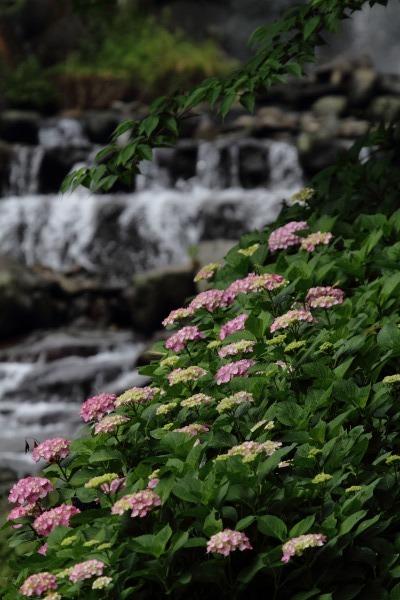白猪の滝農村公園紫陽花 140621 06