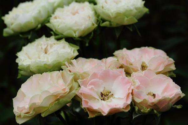 花き研究指導室 バラ 140803 01