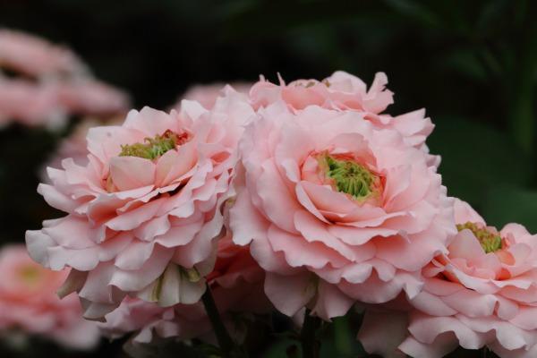 花き研究指導室 バラ 140803 03