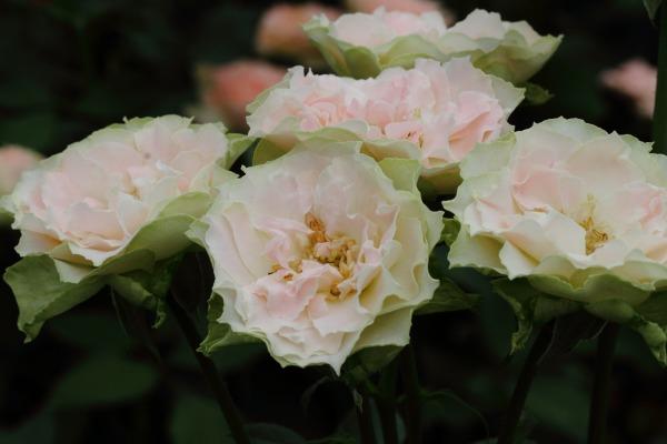 花き研究指導室 バラ 140803 07