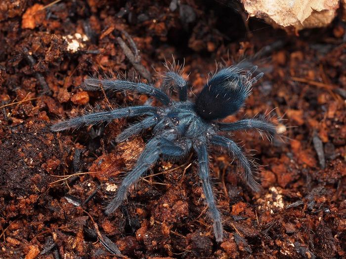 s700-Phormictopus sp BLUE