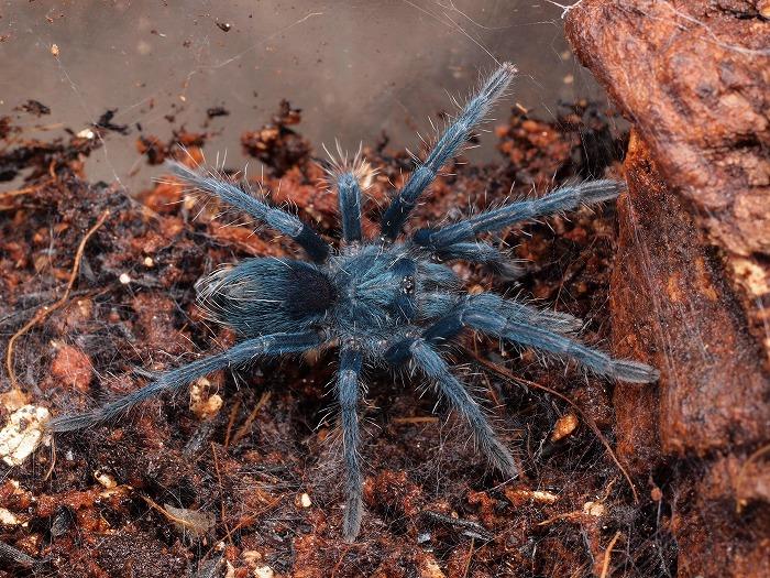 s700-Phormictopus sp South Hispaniola