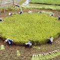 稲刈り 面白