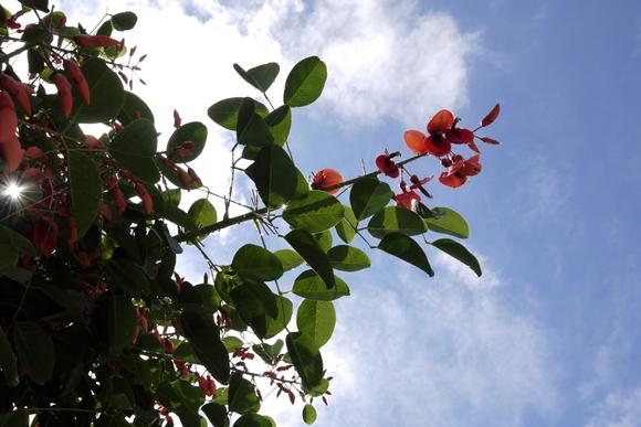 デイゴの花2_R