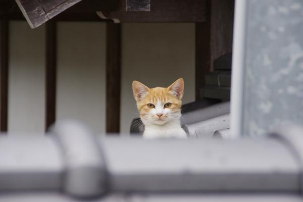西林寺の猫