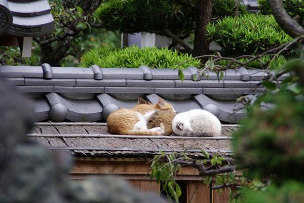 西林寺の猫達