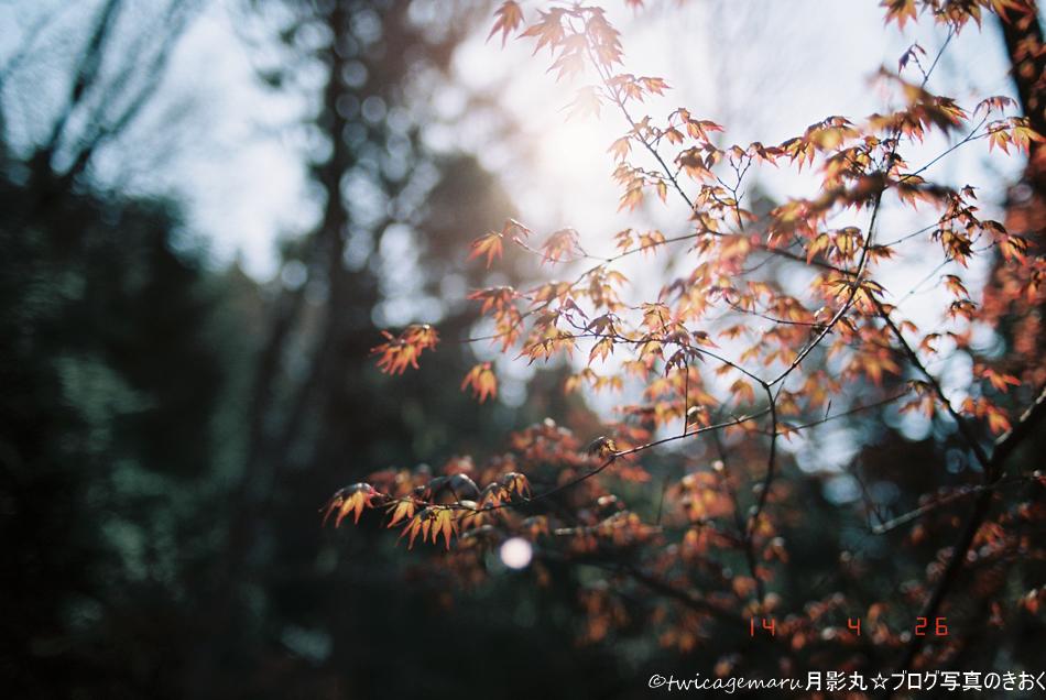 春の紅葉もみじ