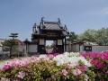 法雲寺のツツジー1