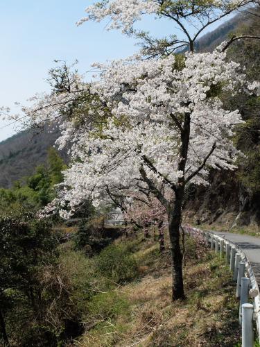 140413なるかみ桜1