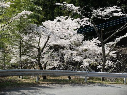140413なるかみ桜3