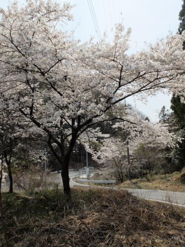 140410なるかみ桜