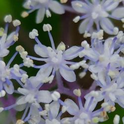 140618コアジサイ薄紫アップ
