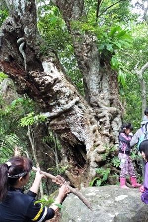 登山道一の大木