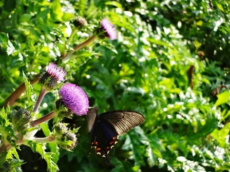 DSC06254 - アザミと蝶