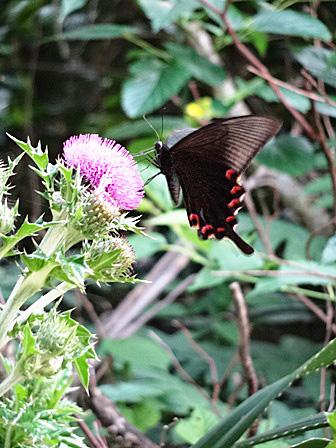 DSC06262 - アザミと蝶