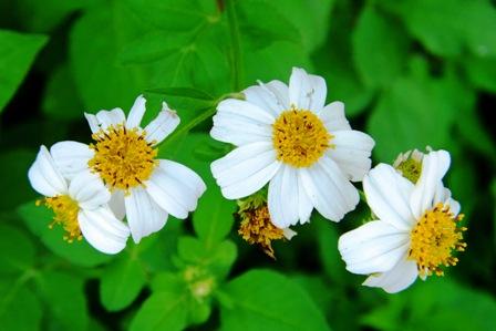 白いマーガレット風野草