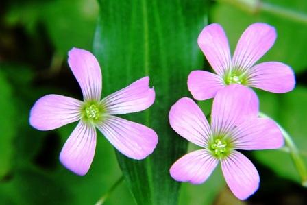ピンクの雑草A