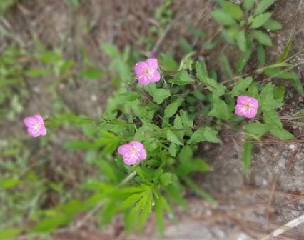 DSC06879 - 野の花