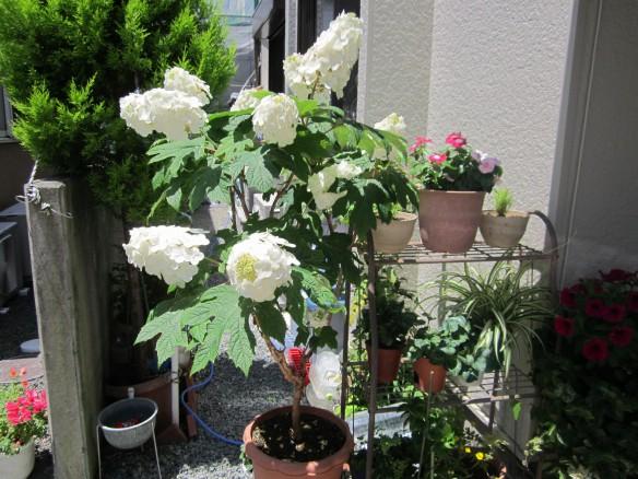 26.06.07家庭菜園 007_ks