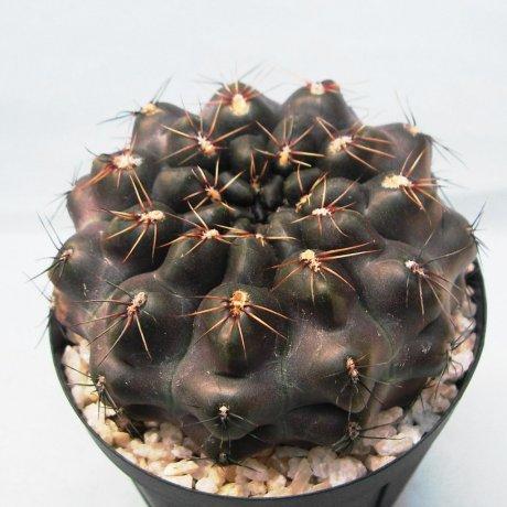Sany0209-erolesii--LB 2308--Berchht seed