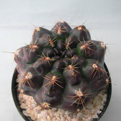 Sany0222--erolesii--lB 2308--Jecminek seed