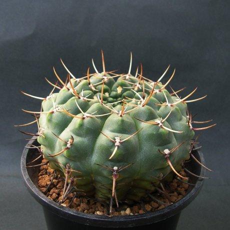 Sany0233--schroederianum v paucicsstatum--LB960--mesa seed488.62 --