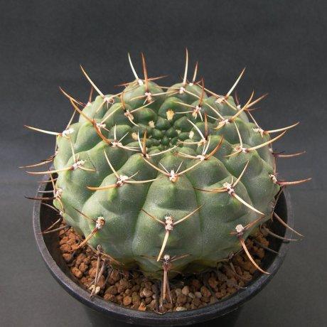 Sany0237--schroederianum v paucicostatum--LB 960--Mesa 488.62