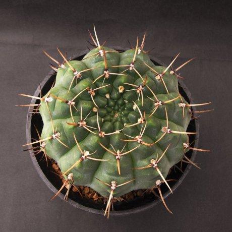 Sany0238--schroederianum v paucicostatum--LB 960--Mesa seed 488.62