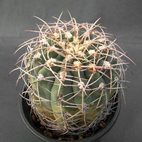 Sany0016--vatteri altautinense--LB 1351--Piltz seed 3172