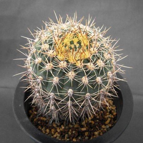 Sany0094--schatzlianum--R 541--Koehres seed