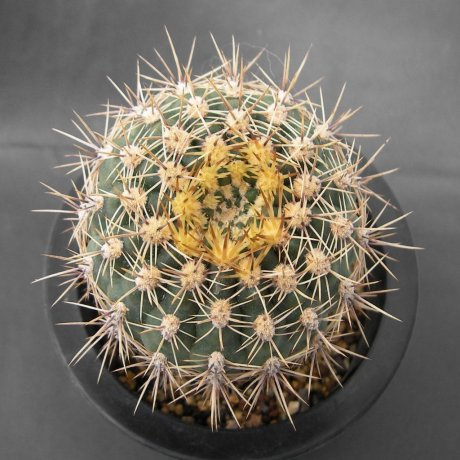 Sany0097--schatzlianum--R 541--Koehres seed