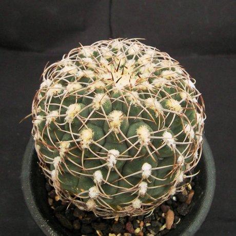 Sany01100a-herbsthoferianum-LB386-Piltz.seed 3525