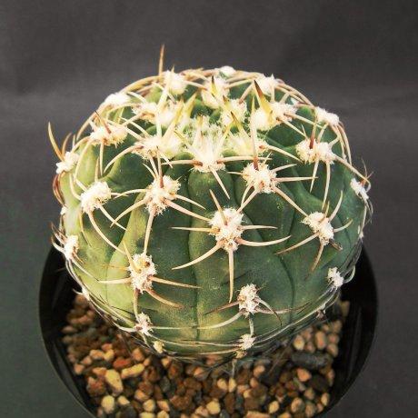 Sany0113--ochoterenae herbsthferianum--Koehres seed