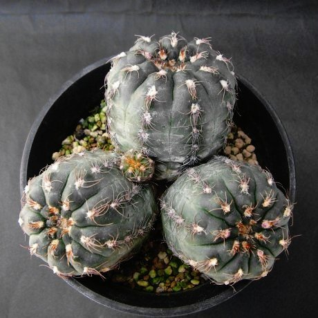 Sany0122--parvulum v amoenum--BKS 170--Piltz seed 3558--ex Milena