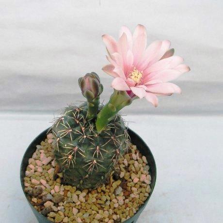 Sany0176a--papschii--HV 671--Bercht seed
