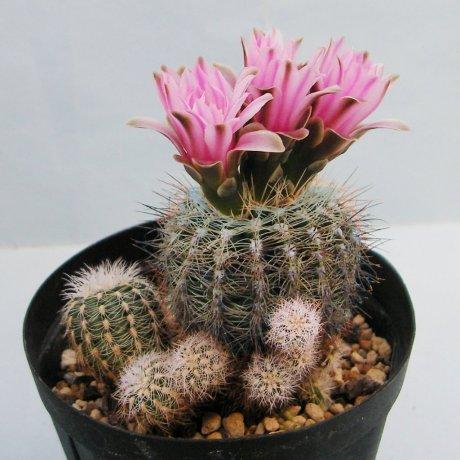 Sany0051--bruchii v niveum--OF 25-80--Piltz seed 1808